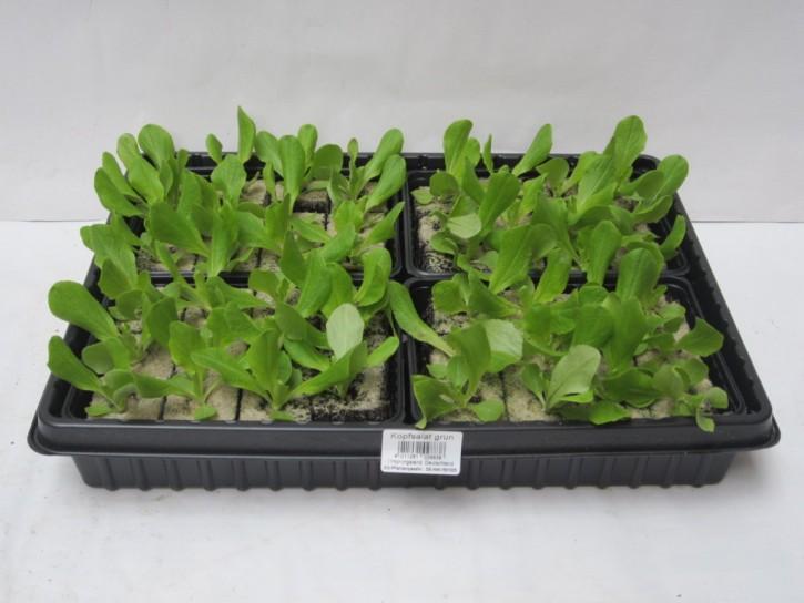 Kopfsalat GRÜN Jungpflanzen (12er Schale)