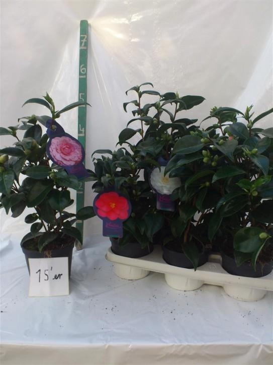 Camellia japonica T 15 MIX