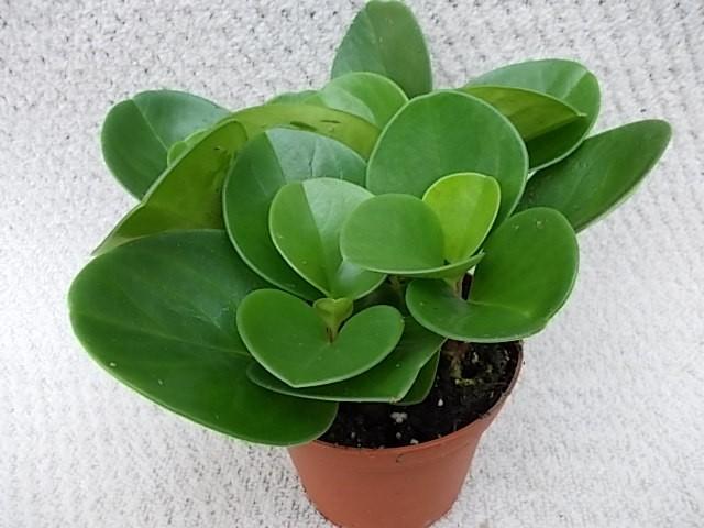 Peperomia obtusifolia 'Green' T 11