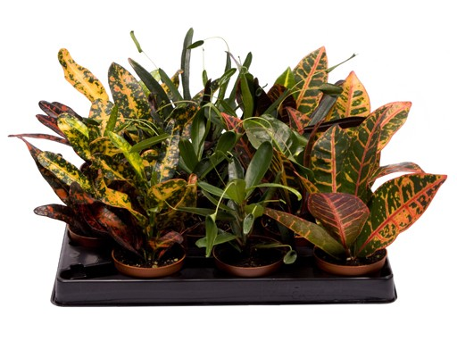 Codiaeum variegatum T 6 MINI Mix