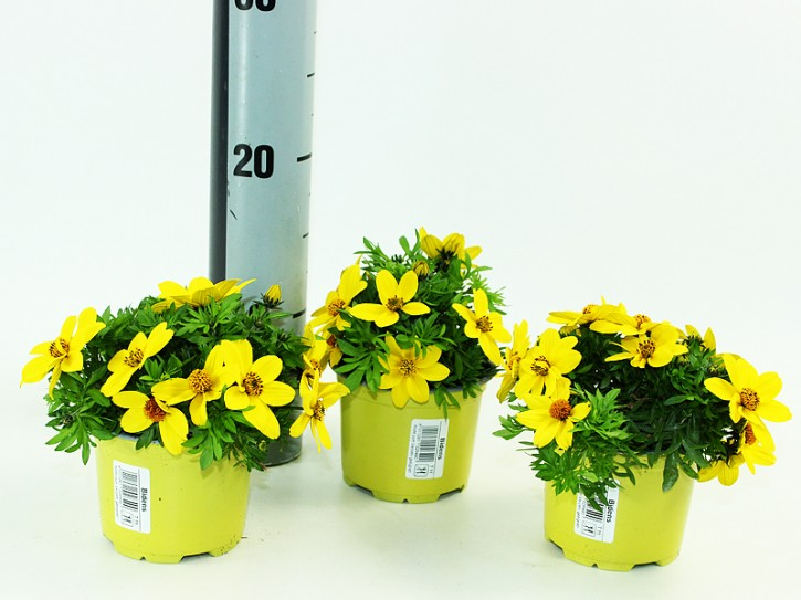 Bidens ferulifolia T 12MIX HQ