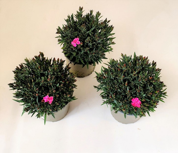 Dianthus caryophyllus 'Peman' T 13