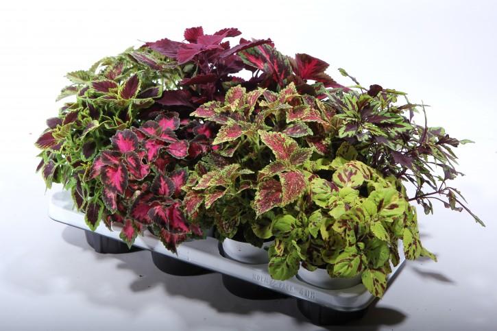 Coleus-Blumei-Hybriden T 12 MIX