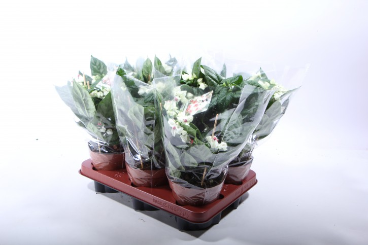 Clerodendrum thomsoniae T 13 (3-4 Blüten)