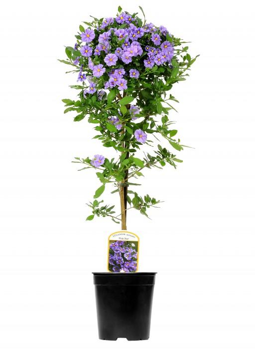 Solanum rantonnetii 'Charles Pink Star' T 19 Stamm