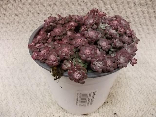 Sedum spathulifolium 'Purpureum' T 13