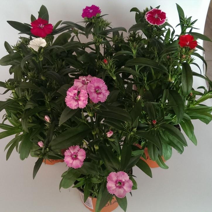 Dianthus chinensis 'Telstar' T 10 Mix