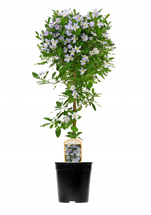 Solanum rantonnetii 'Charles Blue Star' T 19 Stamm
