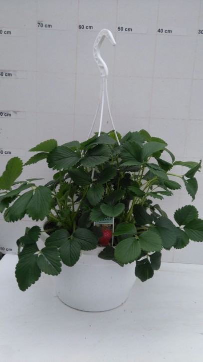 Erdbeere 'Senga Sengana' T 25 Ampel