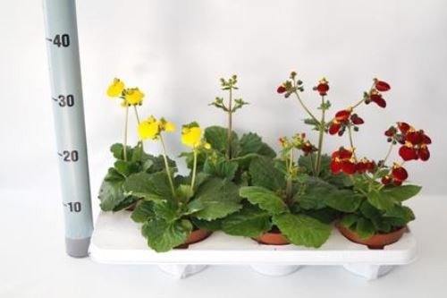 Calceolaria CALYNOPSIS T 12 MIX • VE 6