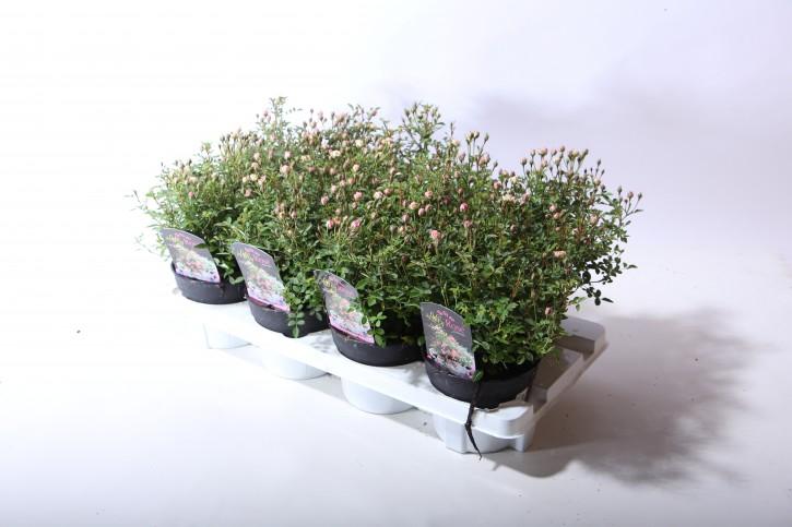 Rosa-Hybriden T 13 LillyRose 'Wonder 5'