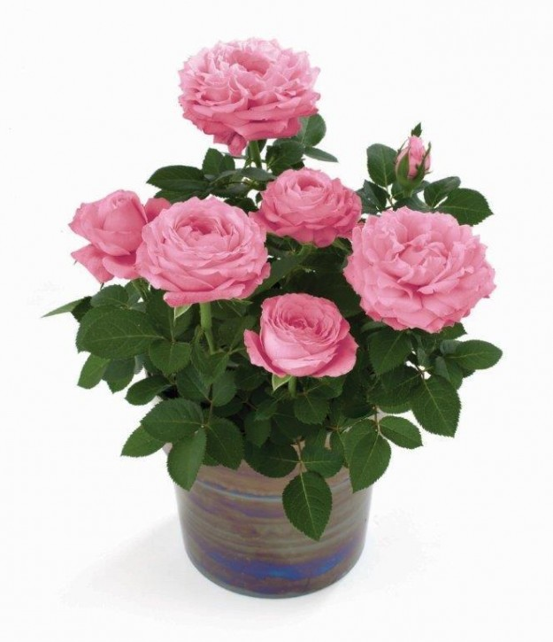 Rosa-Hybriden T 10,5 PINK INFINITY ROSE