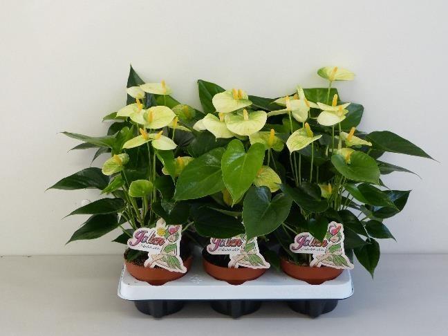 Anthurium-Andreanum Hybrid T 12 (creme-gelb) 'Vanilla'