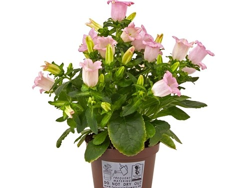 Campanula medium 'Sweet Mee' T 11,5