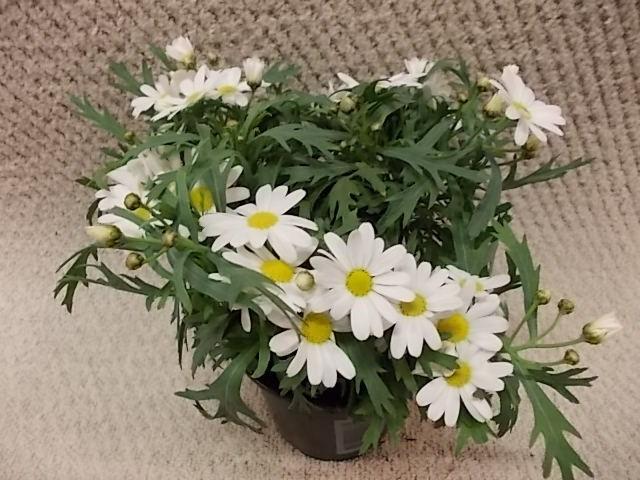Argyranthemum frutescens 'Dana' T 11
