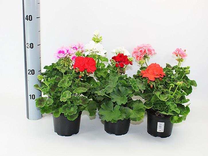 Pelargonium-Zonale-Hybriden T 12