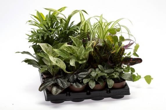 Grünpflanzen-Sortiment T 6 Mini Mix