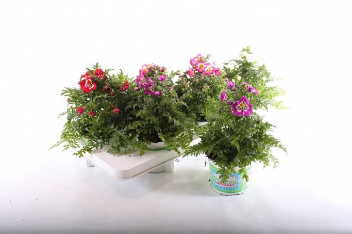 Schizanthus x wisetonensis MIX T 13