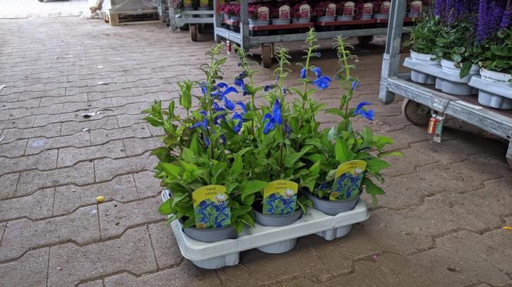 Salvia patens T 13
