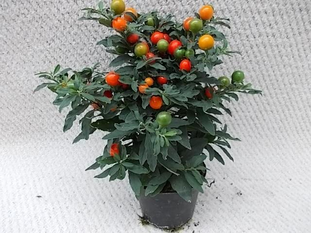 Solanum pseudocapsicum 'Thurino' T 11