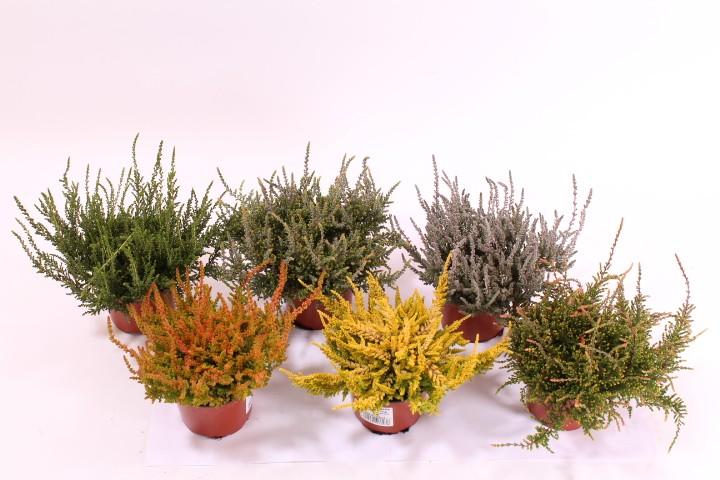 "Calluna vulgaris T 10,5 ""Laubschöne"" MIX • VE 10"