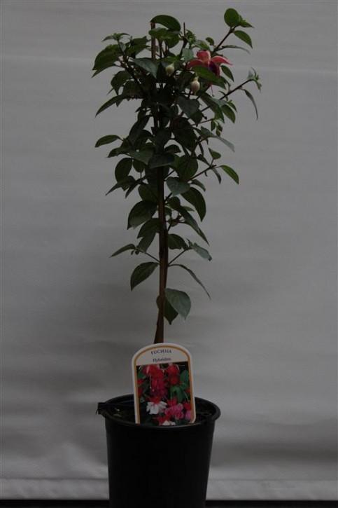 Fuchsia-Hybriden 'Beckie Lou' T 19 Stamm
