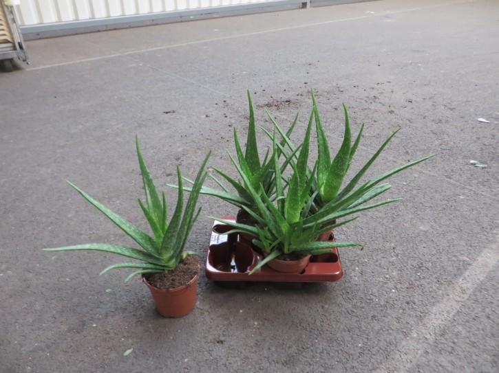 Aloe vera T 10,5