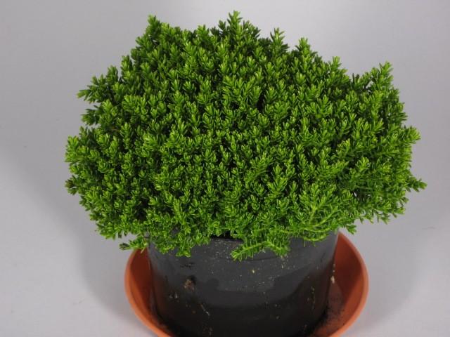 Hebe-Hybriden 'Green Globe'   T 9
