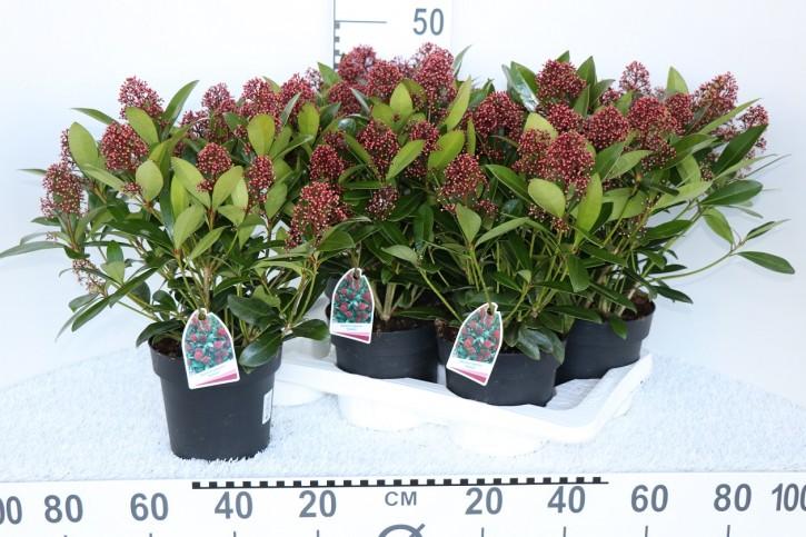 Skimmia japonica 'Rubella' T 17 (8-10 rote Dolden)