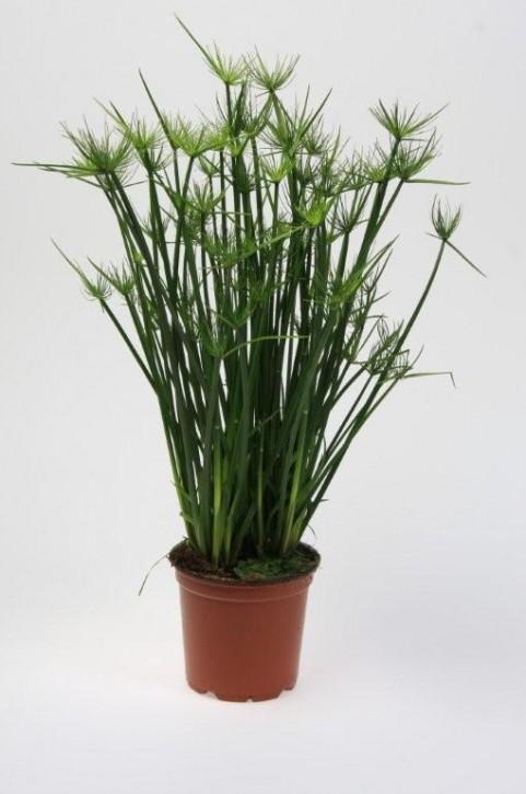 Cyperus haspan   T 12