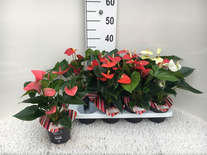 Anthurium-Andreanum-Hybr.T 12 'Sweet Hearts' MIX