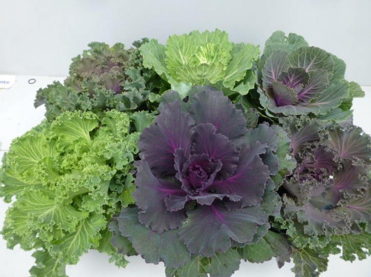 Brassica oleracea T 12 GLATT Mix