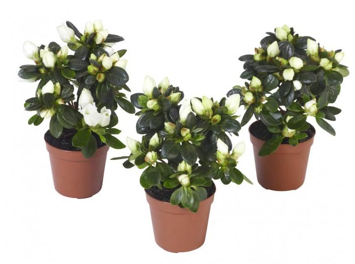 Rhododendron simsii 'Fabienne' T 5,5 MINI