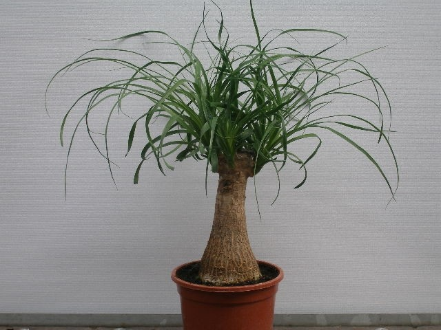 Beaucarnea recurvata T 13