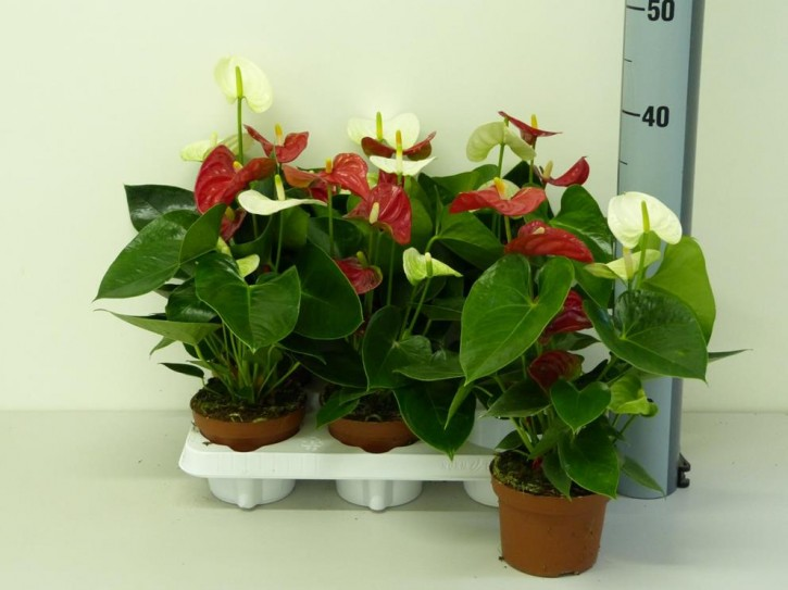 Anthurium-Andreanum-Hybr.T 12 (rot+weiß) 'Sierra' TWINS