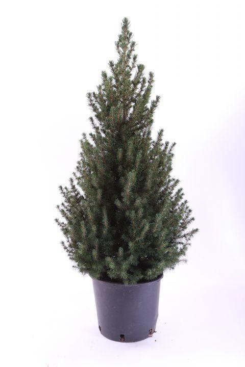 Picea glauca 'Conica'   65/70 cm   T 24