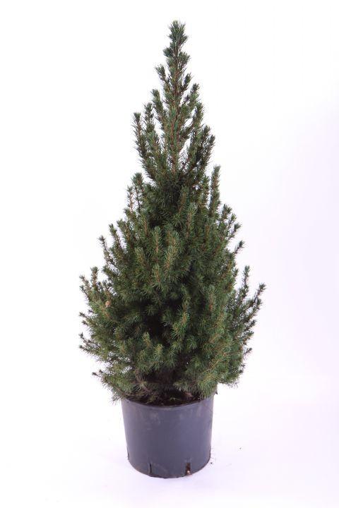 Picea glauca 'Conica'  55 cm   T 21