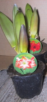 Hippeastrum-Hybrid (Amaryllis) T 12 ROT-WEISS  1-2 Kn.