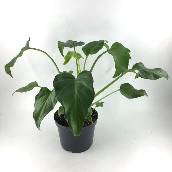 Philodendron 'Xanadu' T 12