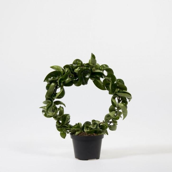 Hoya carnosa 'Compacta' T 9 Bogen