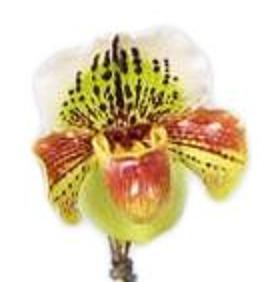 Paphiopedilum-Hybriden T 15 (1 Trieb)