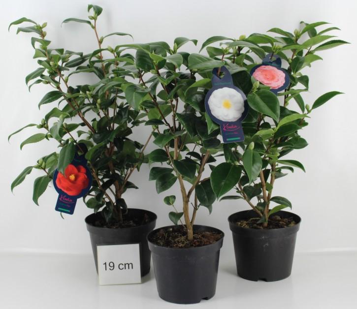 Camellia japonica T 19 MIX