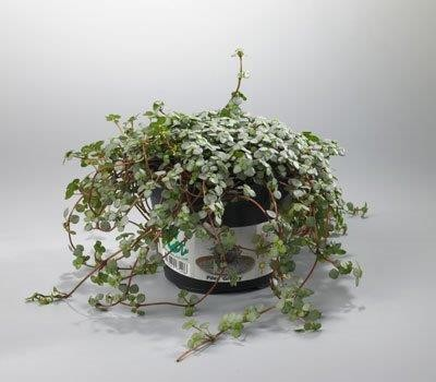 Pilea nummulariifolia 'Glauca Creyzy' T 10,5
