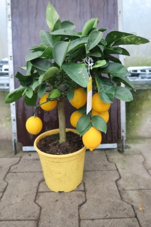 Citrus limon T 20 Stamm ZITRONE