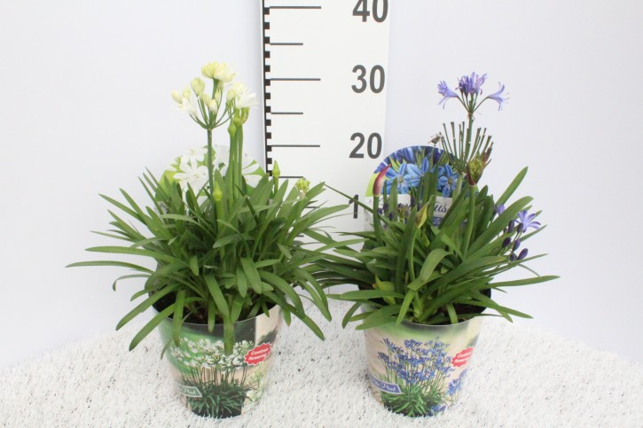 Agapanthus africanus T 17 WEISS mit Potcover