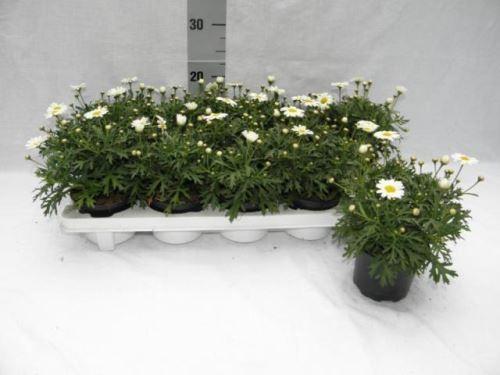 Argyranthemum frutescens T 10,5 WEISS
