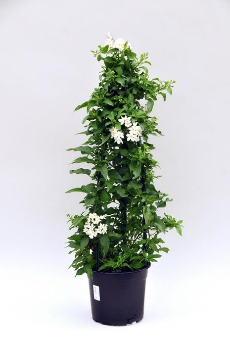 Solanum jasminoides T 19 Pyramide