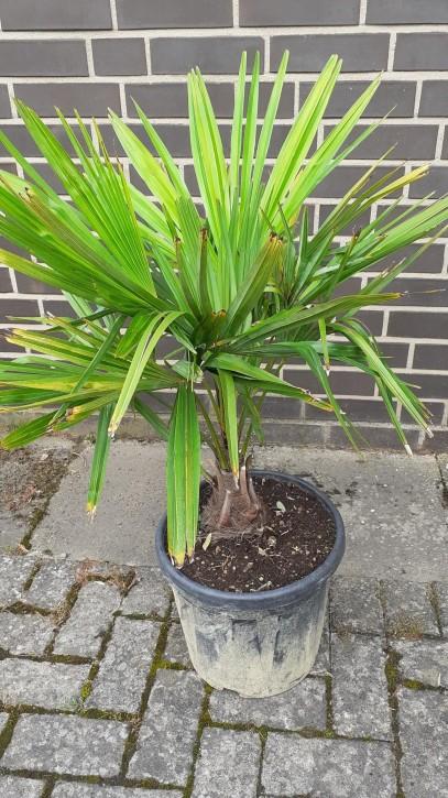 Trachycarpus fortunei T 30   (10/15)   80 cm