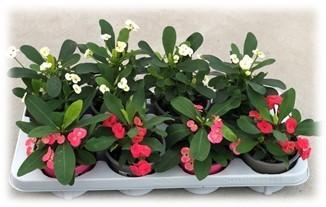 Euphorbia milii  T 12  MIX