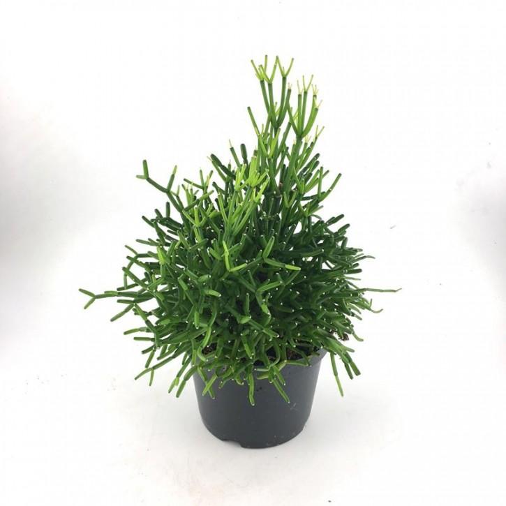 Hatiora bambusoides T 12